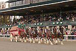 24 October 2009:  The Budweiser  Clydesdales make an appearance at Keeneland Race Course October 24, 2009.