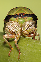 An annual dog day cicada which emerges every year and has a life span of two to four years. It is found in the southwestern United States and is the most commonly found cicada in Central Texas.