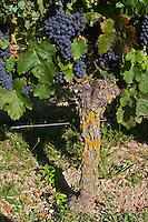 Old vine. Bunches of ripe grapes. Cabernet franc. Domaine des Roches Neuves, Saumur Champigny, Loire, France