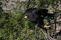 Common Black Hawk takes off from limb, Big Bend National Park