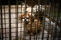 CHINA. Hubei Province. Wuhan. Dogs in an enclosure in Wuhan zoo. In many of China's 'second-tier' cities, away from the modern zoos in the megacities of Beijing and Shanghai, hide a plethora of smaller unknown zoos. In these zoos, what can only be described as animal abuse is subtly taking place in the form of deprivation of light, space, sanitation and social contact with other animals. Living in awful conditions, these animals spend there days entertaining tourists who seem oblivious to the animals' plight and squalid existence. 2008..