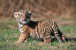 A young Bengal tiger cub mews while looking around at the Prairie Wind Wildlife Refuge, east of Castlerock, Colorado.