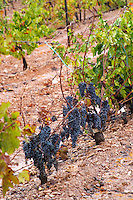 Bunches of ripe grapes. Trincadeira vines. Herdade das Servas, Estremoz, Alentejo, Portugal