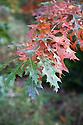 Pin oak (Quercus palustris), early November.