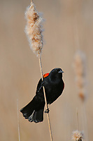 Adult male Red-winged Blackbird (Agelaius phoeniceus) perched on a cattail. Tompkins County, New York. May.
