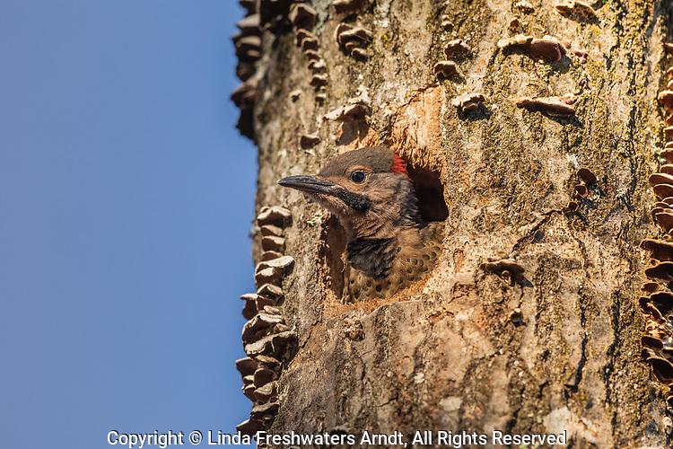 Northern flicker nestling in northern Wisconsin.