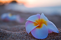 Plumerias on the beach at sunset