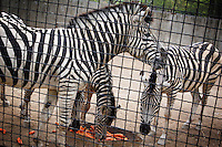 CHINA. Hubei Province. Wuhan. Zebra in an enclosure in Wuhan zoo. In many of China's 'second-tier' cities, away from the modern zoos in the megacities of Beijing and Shanghai, hide a plethora of smaller unknown zoos. In these zoos, what can only be described as animal abuse is subtly taking place in the form of deprivation of light, space, sanitation and social contact with other animals. Living in awful conditions, these animals spend there days entertaining tourists who seem oblivious to the animals' plight and squalid existence. 2008.