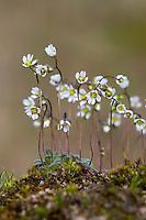 Frühlings-Hungerblümchen, Frühlingshungerblümchen, Hungerblümchen, Draba verna, Erophila verna, Spring draba, shadflower, nailwort, vernal whitlow grass, early witlow grass, whitlow-grass