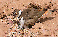 0510-1123  Killdeer, Adult Sitting on Eggs, Charadrius vociferus  © David Kuhn/Dwight Kuhn Photography