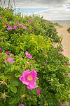 Hammonasset State Beach Park, Madison, CT. Beach Roses