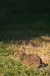 Ding Darling National Wildlife Refuge, Bailey Tract, Sanibel Island, Florida; a Swamp Rabbit (Sylvilagus aquaticus) on the walking trail of the Bailey Tract © Matthew Meier Photography, matthewmeierphoto.com All Rights Reserved