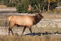 Elk, Wapiti (Cervus elaphus), bull, Jasper National Park, Alberta, Canada