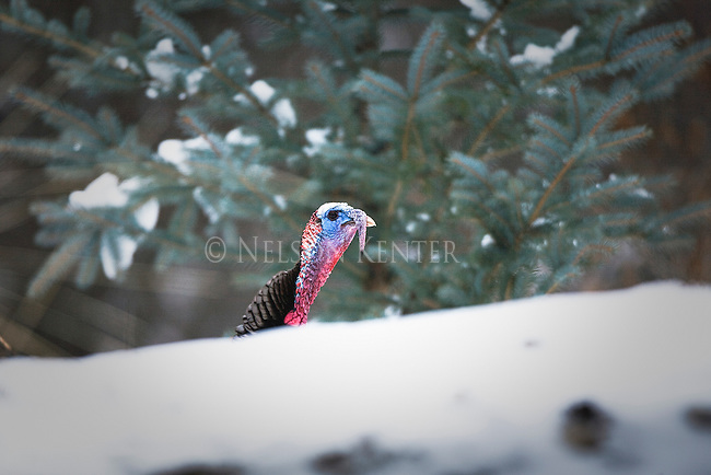Tom Turkey in the spring mating season in Montana peering over a snow bank