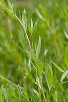 Estragon, Blätter, Dragon, Dragun, Artemisia dracunculus, Tarragon