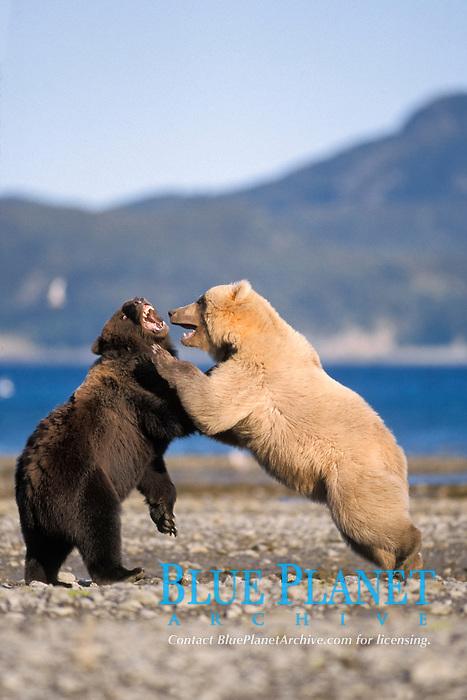 grizzly bear, Ursus horribilis, or brown bear, Ursus arctos, rare blonde (white) bear playing with a dark colored bear on the coast of Katmai National Park, Alaskan peninsula, USA
