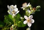 blackberry bush, blossom