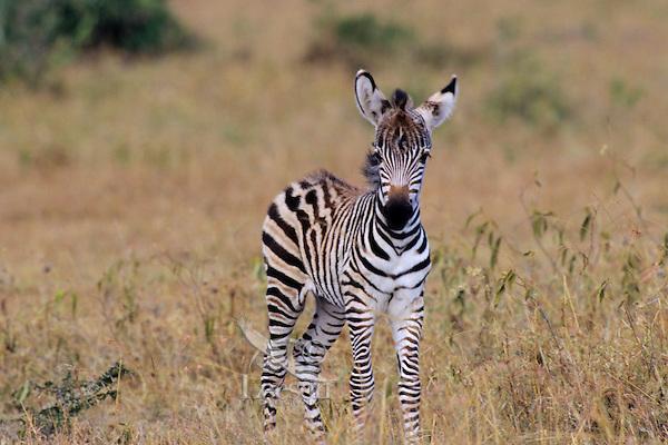 Burchell's Zebra or Plains Zebra (Equus burchelli), Africa.  Foal.