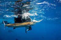 Atlantic sailfish, Istiophorus albicans, grasps a Spanish sardine, Sardinella aurita, seized at the surface, off Yucatan Peninsula, Mexico (Caribbean) bubbles stream from the sailfish's mouth where it has pulled air down from the surface during its attack; #3 in sequence of 4 images