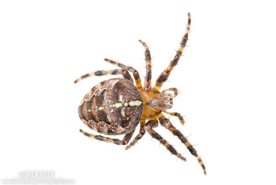 Garden Spider {Araneus diadematus} female photographed on a white background in mobile field studio