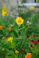 Pictorial Meadow - Marmalade Mix - including Red Flax, Painted Daisy, Black-eyed Susan, Californian Poppy.