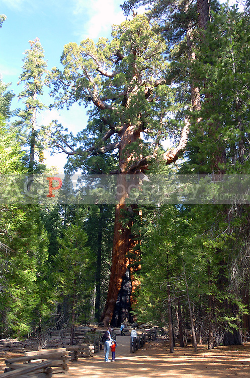 """The """"Giant Grizzley"""" Sequia tree in Mariposa Grove inside Yosemite National Park in California November 24, 2008. The tree is 3,000 years old and is one of the largest and oldest living things on Earth. The tree is 3,000 years old and is one of the largest living things on Earth. The tree is 100 feet around at the base with a diameter of 29 feet and is 209 feet high. It is the largest tree in Yosemite and is believed to be the 5th largest tree on earth, weighing 2 million pounds and comprising 30,000 cubic feet of lumber, enough to build some 20 homes. Its lowest limbs are 6 feet across. (Photo Copyright Alan Greth)"""