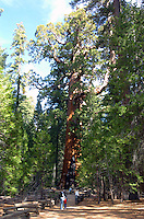 "The ""Giant Grizzley"" Sequia tree in Mariposa Grove inside Yosemite National Park in California November 24, 2008. The tree is 3,000 years old and is one of the largest and oldest living things on Earth. The tree is 3,000 years old and is one of the largest living things on Earth. The tree is 100 feet around at the base with a diameter of 29 feet and is 209 feet high. It is the largest tree in Yosemite and is believed to be the 5th largest tree on earth, weighing 2 million pounds and comprising 30,000 cubic feet of lumber, enough to build some 20 homes. Its lowest limbs are 6 feet across. (Photo Copyright Alan Greth)"