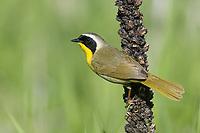 Common Yellowthroat (Geothlypis trichas). Oregon. May.