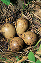 01262-010.05 American Woodcock nest containing the typical four eggs.
