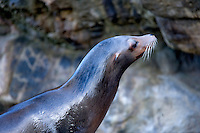 California Sea Lion (Zalophus californianus) at the Oregon Coast Aquarium. Newport, Oregon