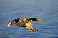 Mallard drake in flight. Autumn. North America..(Anas platyrhynchos).