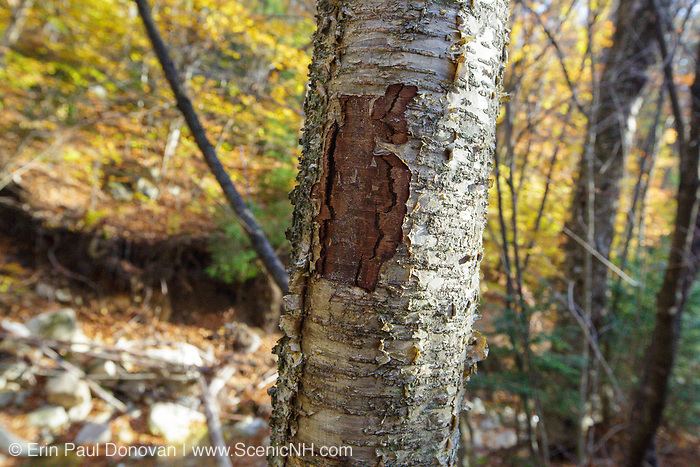 October 2012 - A man-made tree wound on a yellow birch tree along the Mt Tecumseh Trail in New Hampshire. Proper protocol was ignored when a painted trail marker (blaze) was removed from this tree, and this is the ending result. This blaze was painted on the tree in 2011, and then improperly removed from the tree in the spring of 2012. The bark, where the blaze was, was cut and peeled away creating a tree wound.