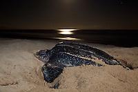 Leatherback Sea Turtles, Sandy Point St. Croix
