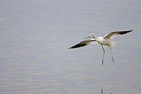 American Avocet (Recurvirostra americana), in winter plumage in flight over a pond and landing.