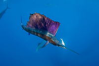Atlantic sailfish, Istiophorus albicans, starts to light up in excited colors as it swims away with Spanish sardine prey in mouth, off Yucatan Peninsula, Mexico (Caribbean Sea) #2 in sequence of 3 images