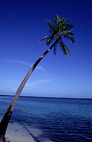 LONE COCONUT TREE