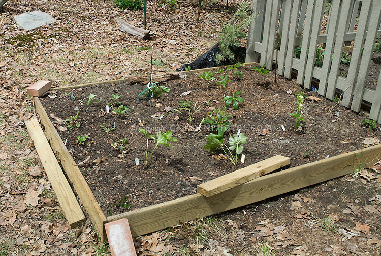 Raised bed holding bed garden next to a picket fence using lumber, with young new plants