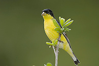 Lesser Goldfinch, Carduelis psaltria, black-backed male perched, Uvalde County, Hill Country, Texas, USA, April 2006