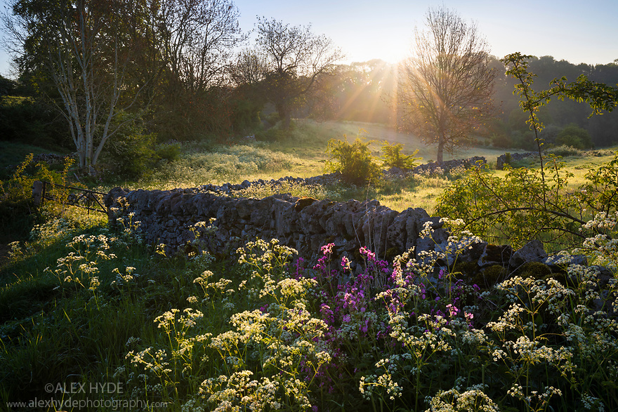 Cow Parsley (Anthriscus sylvestris) and Red Campion (Silene dioica) in bloom alongside a limestone dry stone wall. Youlgrave, Peak District National Park, Derbyshire, UK. May.