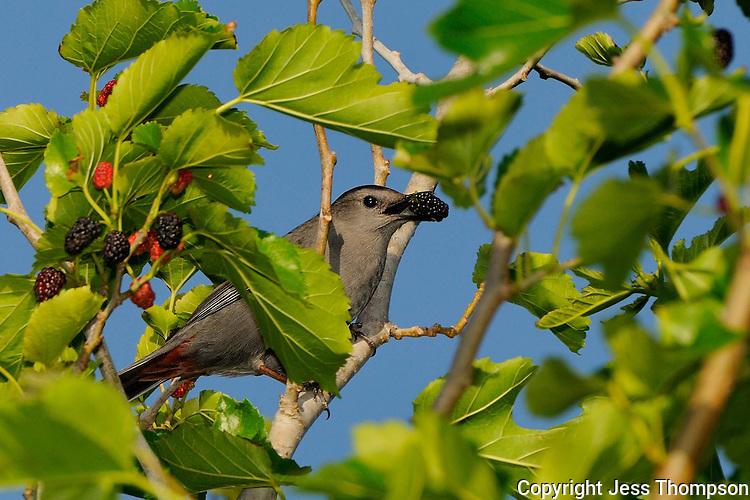 Gray Catbird, Rockport, Texas