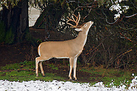 White-tailed Deer Buck (Odocoileus virginianus) rubbing gland on tree branch in fresh snow.
