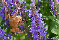 0811-0908  Spring Peeper Frog Climbing on Purple Flowers, Pseudacris crucifer (formerly: Hyla crucifer)  © David Kuhn/Dwight Kuhn Photography