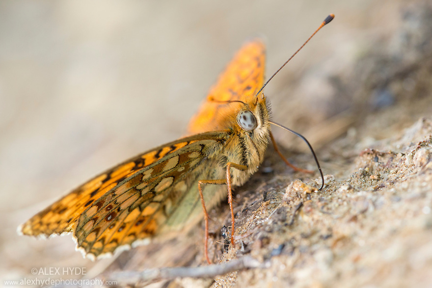 Niobe Fritillary {Argynnis niobe} drinking mineral-rich water from the edge of a puddle. Nordtirol, Austria. June.