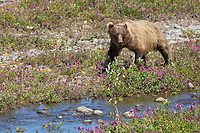Grizzly bear forages among the dwarf fireweed on the Toklat river, Denali National Park, Interior, Alaska.
