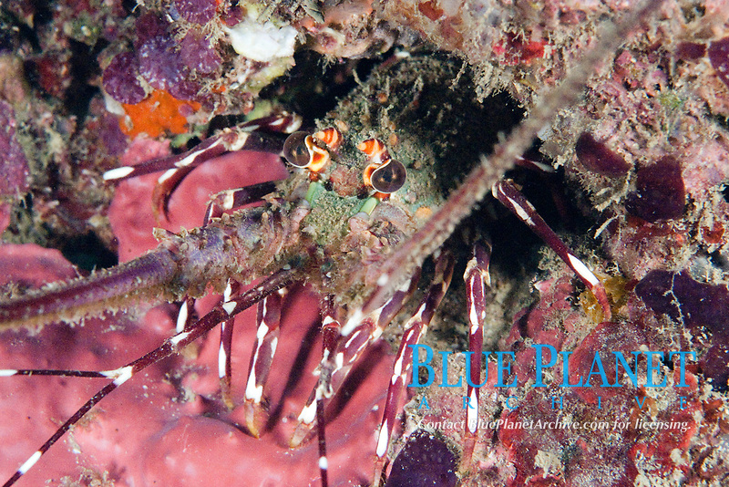 Chinese spiny lobster, Panulirus stimpsoni, Hainan, China, South China Sea, Pacific Ocean