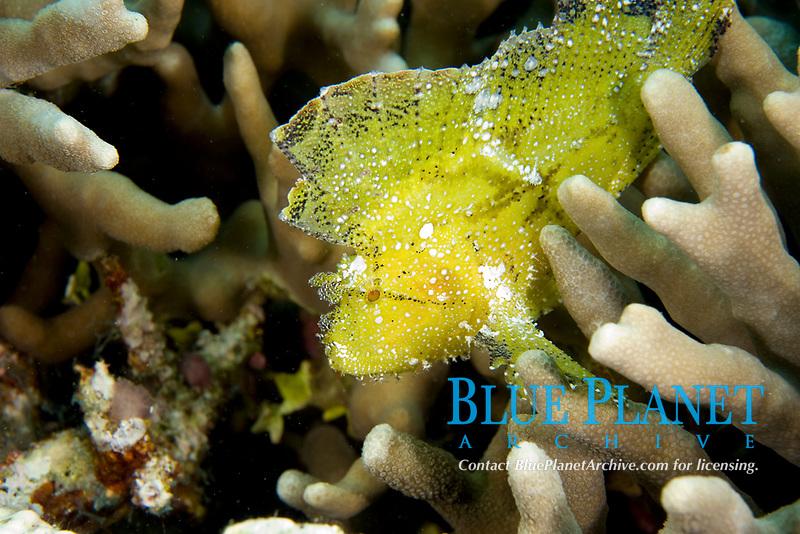 yellow leaf scorpionfish, Taenianotus triacanthus, Wakatobi, Indonesia, Pacific Ocean