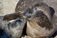 Harbor Seals (Phoca vitulina richardsi) La Jolla, California