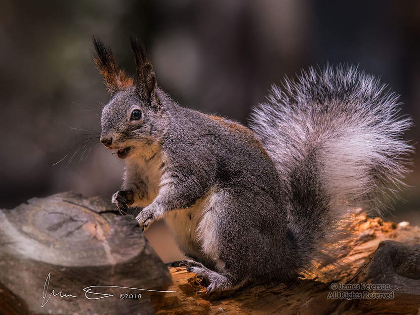 Abert's Squirrel, Mount Lemmon, Arizona ©2018 James D Peterson.  This squirrel is common in many parts of the Rocky Mountain states, and its range extends into Mexico as well.  But in the Santa Catalina mountains north of Tucson, it is an introduced species.  That notwithstanding, it is a lively and beautiful creature with an amazingly fluffy tail.