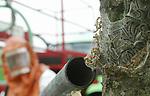 Foto: VidiPhoto<br /> <br /> DODEWAARD – Bestrijding van de eikenprocessierups. Volgens bomenprofessor Henry Kuppen, CEO bij kenniscentrum Terra Nostra, is er slechts sprake van symptoombestrijding, maar moet het probleem bij de basis aangepakt worden. Volgens Kuppen is er maar één oplossing: minder eiken en meer variëteit in het bomenareaal in ons land. Inmiddels zijn er zo'n 100.000 Nederlanders geïnfecteerd met de brandharen van de eikenprocessierups.