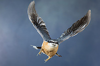 Kleiber, Spechtmeise, im Flug, Flugbild, fliegend, mit Sonnenblumenkern im Schnabel, Sitta europaea, Nuthatch, Eurasian nuthatch, wood nuthatch, flight, flying, Sittelle torchepot